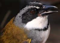 Grey-browed Brushfinch (Arremon assimilis) ©Flickr Andres Cuevo