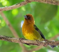 Ochre-breasted Brushfinch (Atlapetes semirufus) ©WikiC
