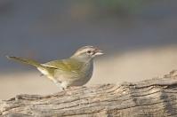 Olive Sparrow (Arremonops rufivirgatus) ©WikiC