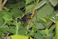 Orange-billed Sparrow (Arremon aurantiirostris) ©Flickr Dominic Sherony
