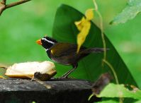 Orange-billed Sparrow (Arremon aurantiirostris) ©WikiC