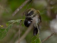 Pectoral Sparrow (Arremon taciturnus) ©Flickr JulaniPhotos