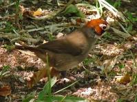 Prevost's Ground Sparrow (Melozone biarcuata) ©WikiC