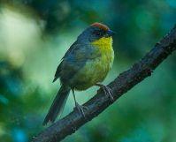 Rufous-capped Brushfinch (Atlapetes pileatus) ©WikiC