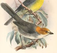 Rufous-eared Brushfinch (Atlapetes rufigenis) ©Drawing WikiC