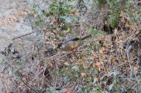 Rusty-bellied Brushfinch (Atlapetes nationi) ©WikiC