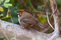 Rusty-crowned Ground-Sparrow ©WikiC