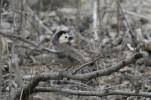 White-headed Brushfinch (Atlapetes albiceps) ©Flickr RichardGibbons