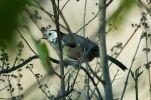 White-headed Brushfinch (Atlapetes albiceps) ©WikiC