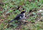 White-winged Brushfinch (Atlapetes leucopterus) ©WikiC