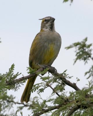 Yellow Cardinal (Gubernatrix cristata) ©WikiC