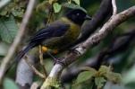 Yellow-green Finch (Pselliophorus luteoviridis) ©Neotropical Daniel Hinckley