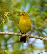Yellow-headed Brushfinch (Atlapetes flaviceps) ©WikiC