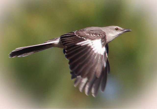 Northern Mockingbird (Mimus polyglottos) In Flight ©Flickr Tom Wicker