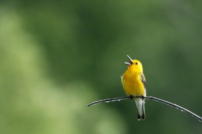 Prothonotary Warbler (Protonotaria citrea) Neal Addy Gallery