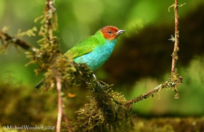 PAS-Thra Bay-headed Tanager (Tangara gyrola) by Michael Woodruff 2