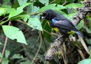 Black-and-gold Tanager (Bangsia melanochlamys) ©Flickr Arley Vargas