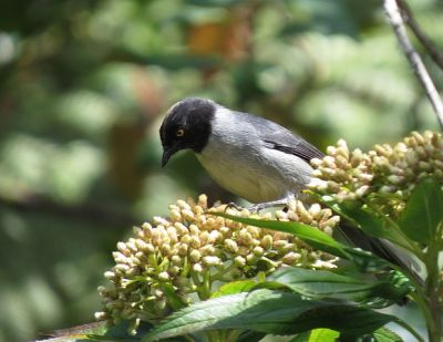 Black-headed Hemispingus (Hemispingus verticalis) ©WikiC
