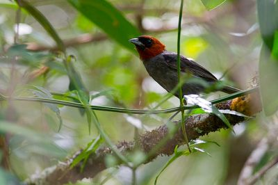 Chestnut-headed Tanager (Pyrrhocoma ruficeps) ©WikiC