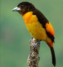 Flame-rumped Tanager (Ramphocelus flammigerus) Female ©WikiC