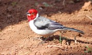 Red-cowled Cardinal (Paroaria dominicana) ©WikiC