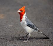 Red-crested Cardinal (Paroaria coronata) ©WikiC