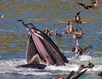 Brown Pelican (Pelecanus occidentalis) Yes Pelican Made It Out ©Flickr Teddy Llovet