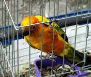 Sun Parakeet (Aratinga solstitialis) In a Cage - Pet ©WikiC