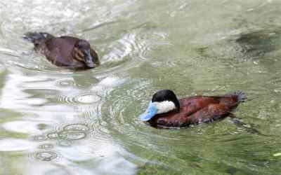 RuddyDuck.male-and-female