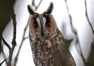 Long-eared Owl (Asio otus) ©Flickr Slgurossom