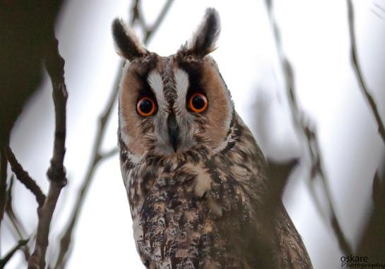 Long-eared Owl (Asio otus) ©Flickr Slgurossom