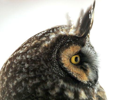 Long-eared Owl (Asio otus) ©WikiC