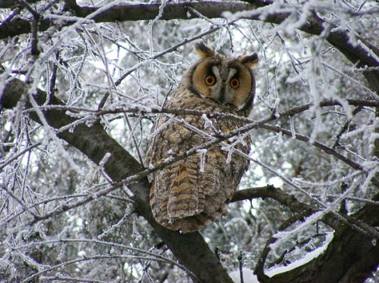 Long-eared Owl (Asio otus) ©WikiC 3