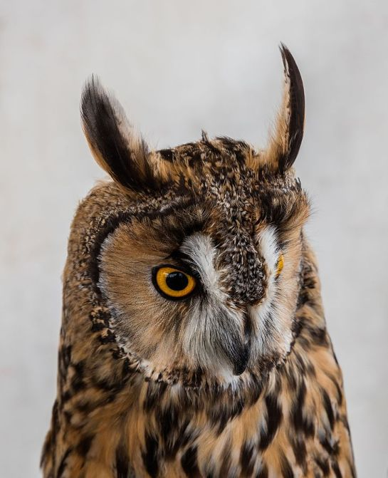 Long-eared Owl (Asio otus) Spain ©WikiC