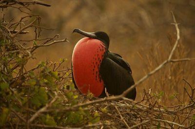 Magnificent Frigatebird (Fregata magnificens) ©WikiC
