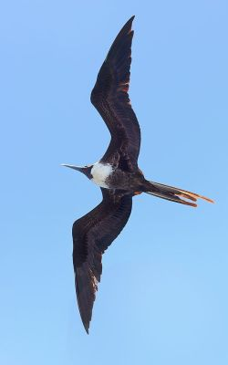 Magnificent Frigatebird (Fregata magnificens) Female ©WikiC
