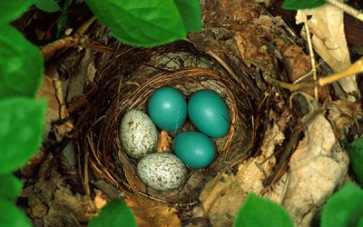 veery-thrush-nest-with-cowbird-eggs