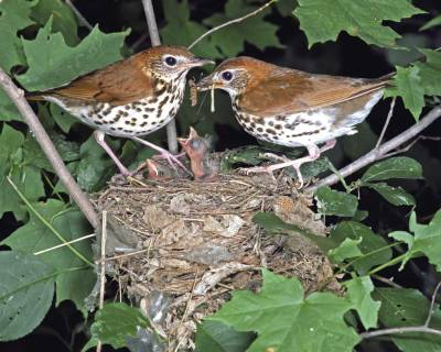 Wood Thrush. nest ©Audubon Society