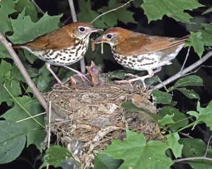 WoodThrush.nest-life-pic-AudubonSociety