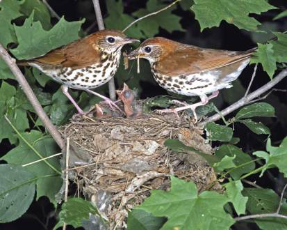 WoodThrush.nest-life-pic-AudubonSociety