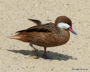 White-cheeked Pintail (Anas bahamensis) with feather SD Zoo by Lee