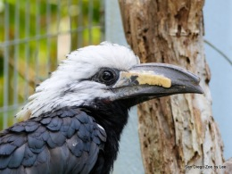 San Diego Zoo's White-crestedHornbill