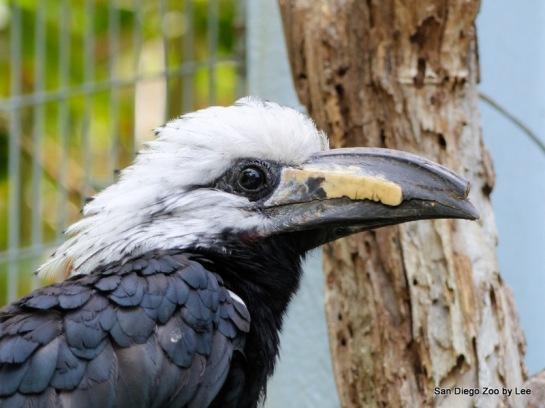 White-crested Hornbill (Horizocerus albocristatus albocristatus) SD Zoo