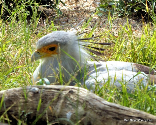 Secretarybird (Sagittarius serpentarius) SD Zoo by Lee