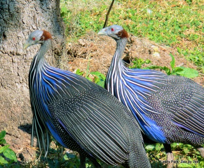 Vulturine Guineafowl (Acryllium vulturinum) by Lee