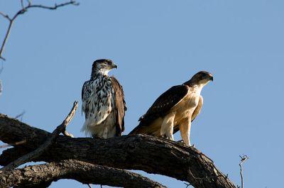 African Hawk-Eagle (Aquila spilogaster) Pair ©WikiC