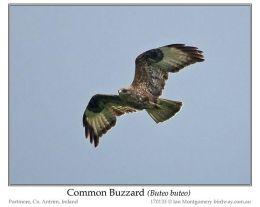 Ian's Bird of the Week – CommonBuzzard