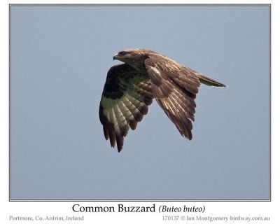 Common Buzzard (Buteo buteo) by Ian
