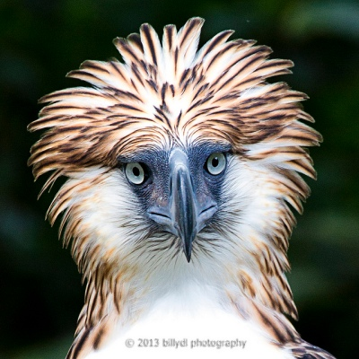 ACC-Acci Philippine Hawk-Eagle (Nisaetus philippensis) ©Flickr Billy Lopue