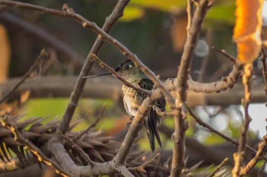 Green-backed Firecrown (Sephanoides sephaniodes) ©Flickr Andre Vlelma Mansilla